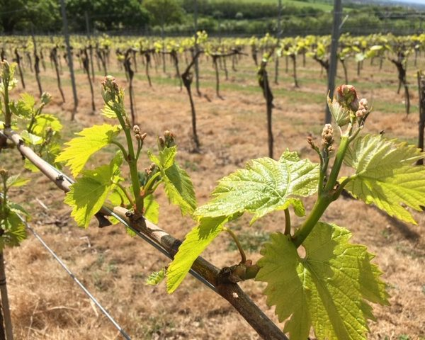 Close up of budding Chardonnay grapes on the vine