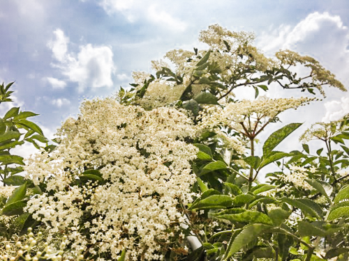 Elderflowers in hedgerow