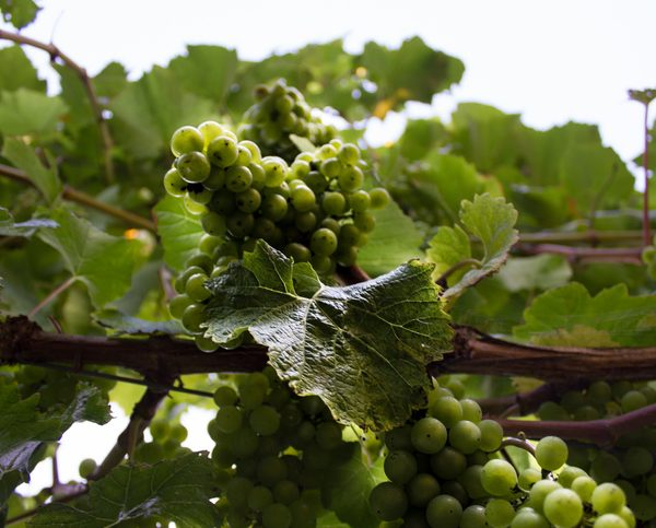 Grapes on the grapevine used to make English wine
